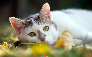 Американська жорсткошерста кішка