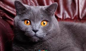Британская короткошерстная кошка - особенности, характер и болезни породы. Питание и уход за британской короткошерстной кошкой