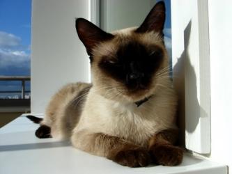 Сиамская кошка - особенности, характер и болезни породы. Питание и уход за сиамской кошкой