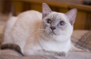 Тайська кішка - особливості, характер та хвороби породи. Харчування та догляд за тайською кішкою