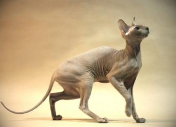 Петерболд або петербурзький сфінкс - особливості, характер та хвороби породи. Харчування та догляд за петербурзьким сфінксом