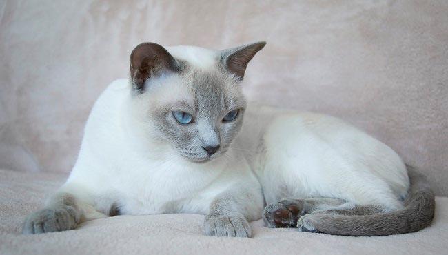 Тонкинская кошка описание породы и характер животного содержание и уход