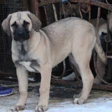 Турецький кангал (анатолійська вівчарка) - особливості, характер та хвороби породи. Дресирування та догляд за турецьким кангалом