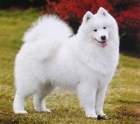 Самоедская собака - особенности, характер и болезни породы. Дрессировка и уход за самоедской собакой