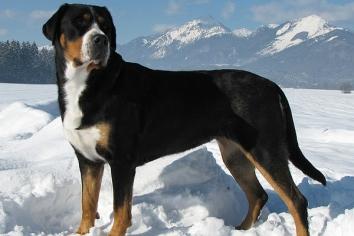 Большой швейцарский зенненхунд - особенности, характер и болезни породы. Дрессировка и уход за большим швейцарским зенненхундом
